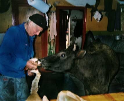 trampet ihjel af ko